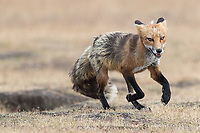 The adult foxes we saw were well on their way to losing their thick winter coats for summer.