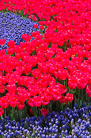 Spring perennial tulips flowers Tulipa gesneriana and grape hyacinths Muscari armeniacum floral display in Istanbul, Turkey
