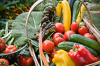 Bountiful harvest basket of organic vegetables - tomatoes, chard, cucumbers, peppers