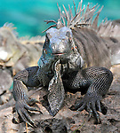 8 August 2009: The Green Iguana (Iguana iguana) is found throughout the island of Bonaire. Taken along the coral coastline at Captain Don's Habitat on the island of Bonaire, in the Netherlands Antilles. Mandatory Credit: Ed Wolfstein Photo