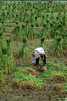 Farmer in rice fields of Gulin China