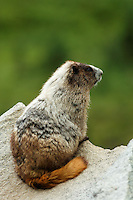 Hoary marmot on rock, Paradise Valley, Mount Rainier National Park, Washington, USA