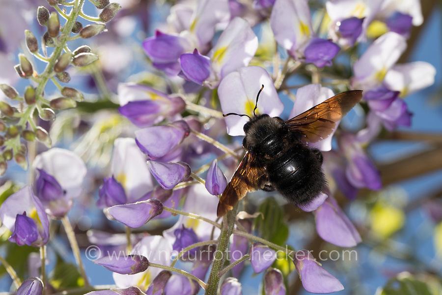 Blaue Holzbiene, Blauschwarze Holzbiene, Große Holzbiene, Blütenbesuch, Nektarsuche an Blauregen, Glyzinie, Wisteria, Xylocopa violacea, Violet carpenter bee, Indian Bhanvra