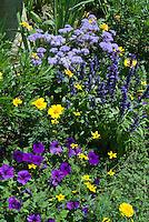 Blue and purple and yellow color theme garden, petunias, marigold Tagetes, Salvia farinacea, Ageratum