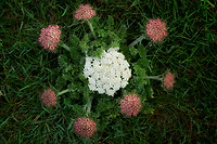 Low growing White Carrot flower. Cornwall, England