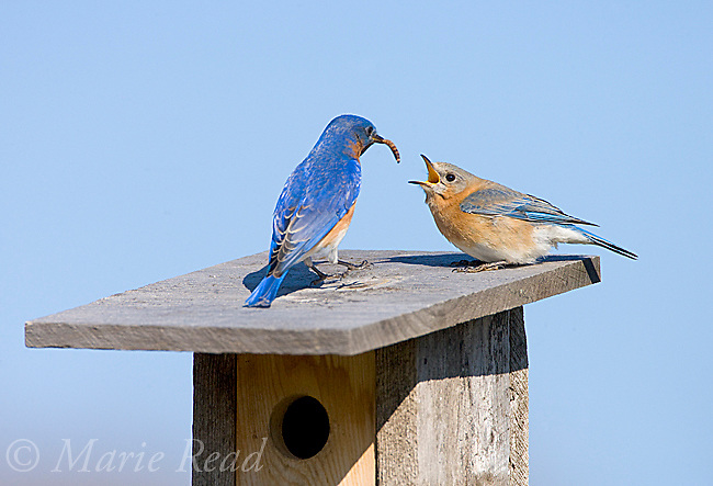 Eastern Bluebird (Sialia sialis), male bringing food (mealworm) to begging female as part of courtship, New York, USA