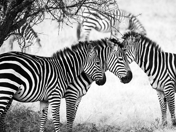 A herd of zebra under the shade escape the late afternoon heat.