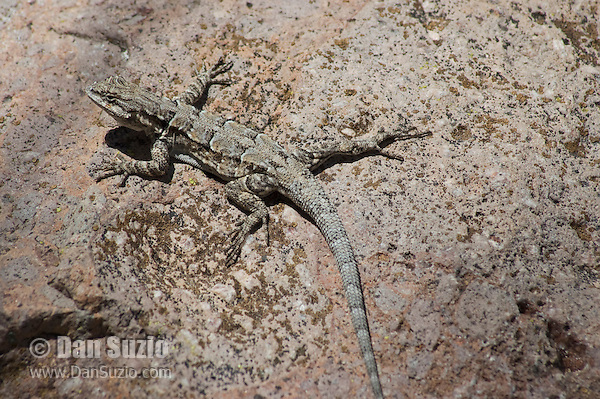 Ornate tree lizard, Urosaurus ornatus.  Sycamore Canyon, Coronado National Forest, Arizona