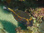 Kenting, Taiwan -- Spotted Boxfish (Ostracion meleagris).
