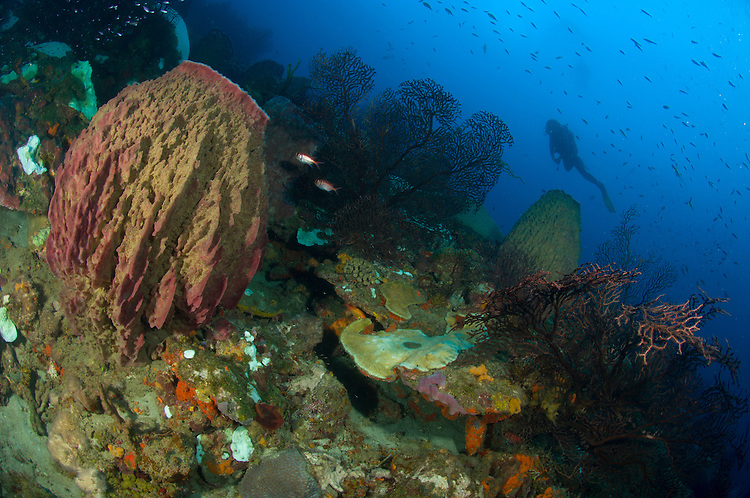A diver looks on at a giant barrel sponge (Xestospongia muta) on a Saint Lucian reef