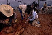 All hands turn to branding and castrating a new addition to the Dugout herd in southeastern Utah. Rancher Heidi Redd (middle right) jumps in to help besides coordinating the other ranch hands as they sort the calves.  ..Surrounded by park and public land, the Dugout Ranch is a 5,200 acre prime piece of ranch land owned by the Nature Conservancy. Ancestral Puebloan rock art and dwellings are found through out the ranch. The property is used for ecological research, biological management, and natural and cultural history interpretation. It is being maintained as an economically viable and ecologically sustainable cattle ranching operation.
