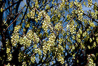 Corylopsis glabrescens yellow flowers in spring bloom, spring flowering shrub