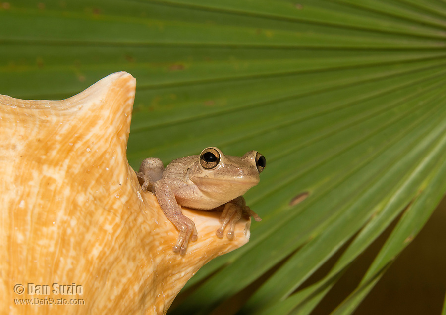 A Cuban Treefrog, Osteopilus septentrionalis, sits on a conch shell in Isla de la Juventud, Cuba