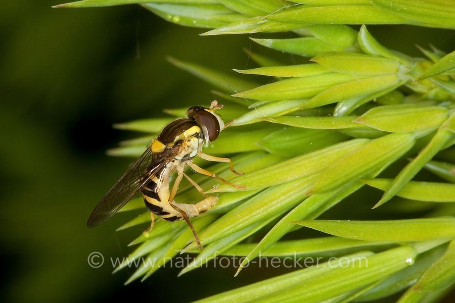 Stift-Schwebfliege, Stiftschwebfliege, Langbauch-Schwebfliege, Langbauchschwebfliege, Schwebfliege, Weibchen bei der Eiablage, Sphaerophoria spec.