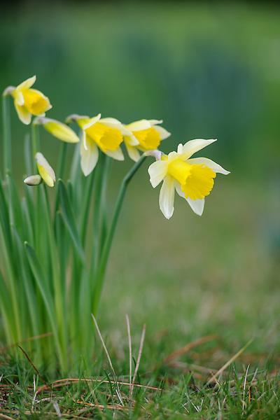 Narcissus pseudonarcissus lobularis