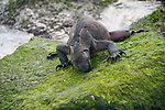 Eating iguana on gardner bay espanola. The color of the iguanas on espanola is reddish