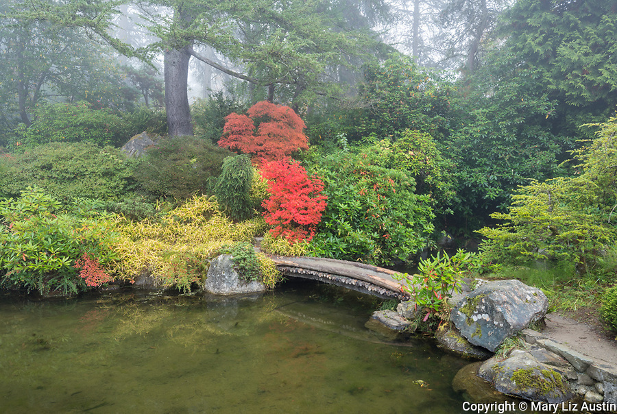 Kubota Garden, Seattle, Washington: A stone bridge leads to the vibrant autumn orange leafed Enkianthus and yellow variegated bamboo surrounded by green rhododendrons and pines