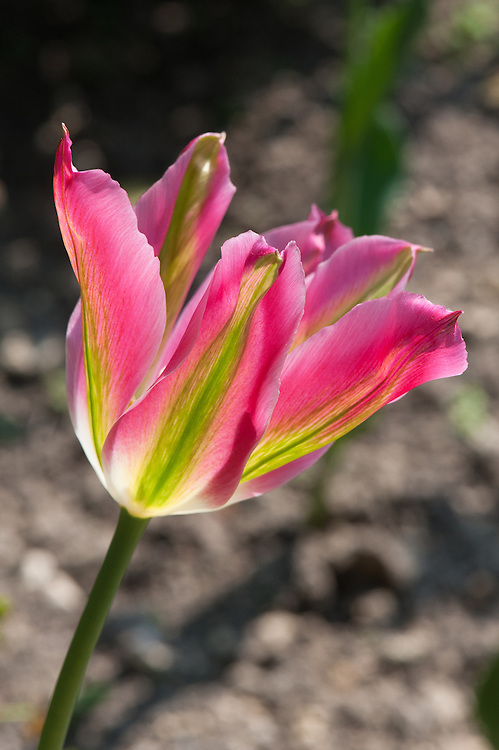 Tulip 'Virichic' (Viridiflora Group'), late April. First introduced in 2002.