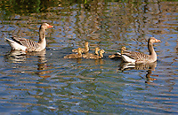 Graugans, Familie mit Küken, Gänsefamilie, Grau-Gans, Gans, Gänse, Anser anser, Greylag Goose, graylag goose, grey lag goose, geese, Oie cendrée