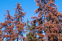 West Coast Forest infested by Mountain Pine Beetle (Dendroctonus ponderosae), BC, British Columbia, Canada - Dying Lodgepole Pine (Pinus contorta) Trees in Cascade Mountains