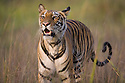 Bengal tiger (Panthera tigris) walking in tall dry grass, looking alert, dry season, April