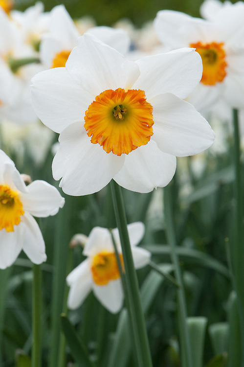 Narcissus 'Jersey Lace', mid April.