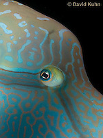 0514-1003  Close up of Face, Humphead Wrasse (Giant Wrasse or Napoleon wrasse), Cheilinus undulatus  © David Kuhn/Dwight Kuhn Photography