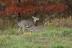 White-tailed doe with nursing fawn