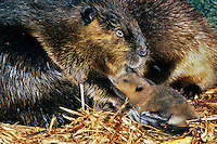 Beaver mother with young (Castor canadensis) inside lodge.