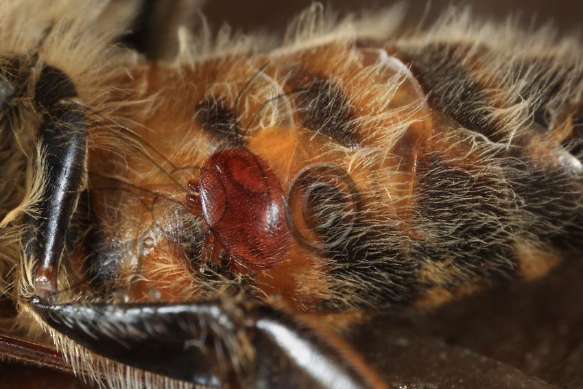 The varroa destructor is a parasite mite that feeds off adult bees, larvae and pupaes. It settles in the brood cells to feed on the pupae. It engenders irreversible deformations such as wingless bees.///Le varroa destructeur est un acarien parasite des abeilles adultes, des larves et des nymphes. Il s'installe dans les cellules du couvain pour se nourrir des nymphes. Il engendre des déformations irréversibles comme des abeilles sans ailes.