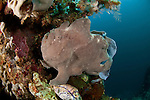 Giant frogfish (Antennarius commersonii) well camouflaged in the reef.