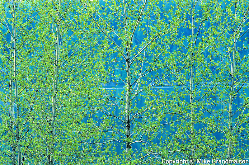 Trembling aspen foliage in spring. Simon Lake Park Conservation Area. <br /> <br /> Ontario<br /> Canada