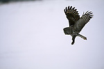 Great Gray Owl swooping down to catch its prey.