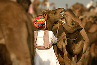Usually docile, the camel can be ill tempered and stubborn if provoked. They have served desert dwellers for centuries and can withstand long periods without water. The Raika of Rajasthan are a historic caste of camel breeders, who gather at the annual Pushkar Camel Festival.