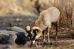 Bighorn Sheep Ram Drinking