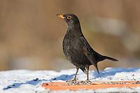 Amsel, an der Vogelfütterung, Fütterung im Winter bei Schnee, frisst Körner am Boden aus einer Schale, Winterfütterung, Schwarzdrossel, Drossel, Turdus merula, blackbird, Merle noir