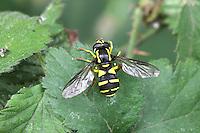 Hoverfly - Xanthogramma citrofasciatum