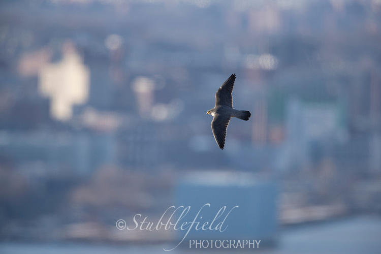 Peregrine Falcon (Falco peregrinus anatum), North American subspecies, in flight over the Hudson river at State Line Lookout in Palisades Interstate Park, Alpine, New Jersey.