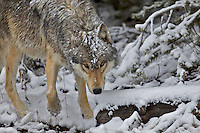 Snow covered Grey Wolf, Yellowstone National Park.  A summer snow on June first creates a winter wonderland.