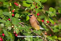 01415-03015 Cedar Waxwing (Bombycilla cedrorum) in Serviceberry Bush (Amelanchier canadensis), Marion Co., IL