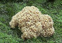 Cauliflower Fungus - Sparassis crispa