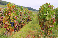Vineyard. Pinot noir. Corton Grand Cru. Aloxe Corton, Cote de Beaune, d'Or, Burgundy, France