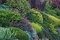 Colorful evergreen foliage texture shrub border with Taxus x media 'Densiformis' Dense Spreading Yew with Berberis thunbergii 'Crimson Pygmy' Dwarf Japanese Barberry and Calluna Firefly- with Pinus mugo pumila and Potentilla fruticosa 'Katherine Dykes' (flowering), Berberis thunbergii 'Helmond Pillar'  in rear; Seattle Washington, Stacie Crooks design