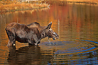 Female Moose lifting head out of water with bright autumn colors reflected in water