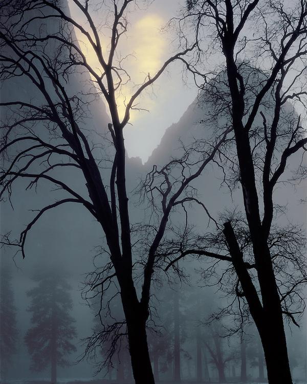 Black oaks and Cathedral Rocks, Yosemite Valley, Yosemite National Park, California