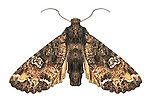 Bertha armyworm moth Mamestra configurata, noctuid, lepidoptera, destructive insect, agricultural pest