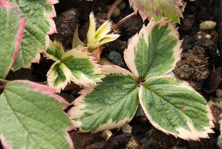 Ornamental strawberry Fragraria x ananassa' Variegata' foliage only
