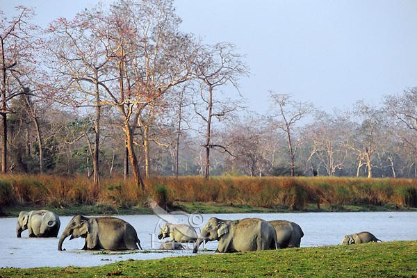 Wild Asian elephant or Indian elephant (Elephas maximus) herd, Kaziranga National Park, India.