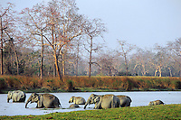 Wild Asian elephant or Indian elephant (Elephas maximus) herd, Kaziranga National Park, India.