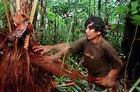 Índio Werekena, morador da comunidade de Anamoim no alto rio Xié, alisa as fibras da árvore de piaçaba (Leopoldínia píassaba Wall)antes de cortá-la. Representando um grande risco aos índios durante sua coleta . A fibra é um dos principais produtos geradores de renda na região é  coletada de forma rudimentar. Até hoje é utilizada na fabricação de cordas para embarcações, chapéus, artesanato e principalmente vassouras, que são vendidas em várias regiões do país.<br /> Alto rio Xié, fronteira do Brasil com a Venezuela a cerca de 1.000Km oeste de Manaus.<br /> 06/06/2002.<br /> ©Foto: Paulo Santos/Interfoto<br /> Negativo Cor Nº 8328 T4 F22